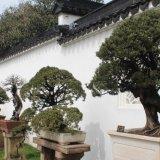 des bonsaïs centenaires